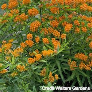 Butterfly Weed Credit Walters Gardens
