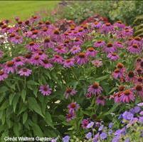 Coneflower 'PowWow Wild Berry' Credit Walters Gardens