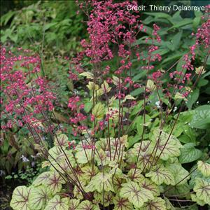 Coral Bells 'Circus' Credit Thierry Delabroye